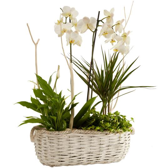 Cesta de orquídea blanca con dracena marginata y spatifilo